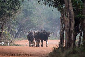 wild water buffalo Sri Lanka Safari