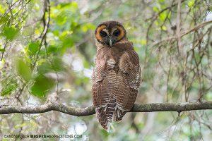 Brown Wood Owl Sri Lanka Safari
