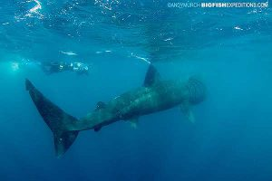 Diver with a basking shark