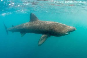 A basking shark diving in Scotland