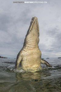 Breaching crocodile