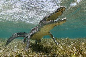 American crocodile in Chinchorro, Mexico