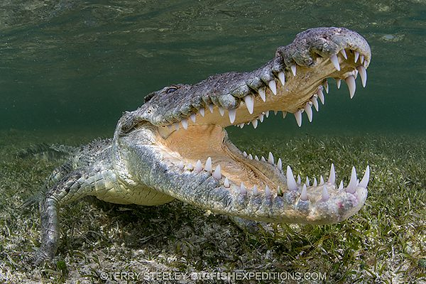 Diving with crocodiles in Mexico