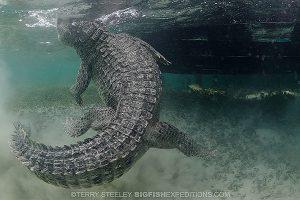 A feisty American crocodile at Chinchorro Atoll