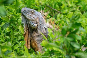 Green Iguana at Chinchorro Bank