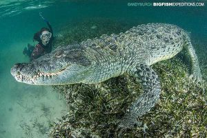Diver with a huge American crocodile in Mexico