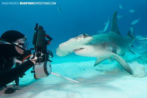 Great hammerhead diving