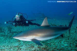 Triangle Rocks with Caribbean reef shark