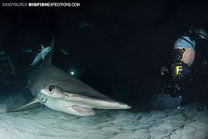 Great Hammerhead night diving