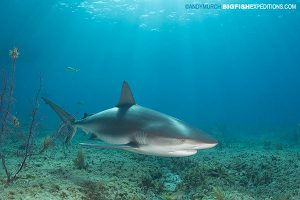 Caribbean reef shark feeding in the bahamas