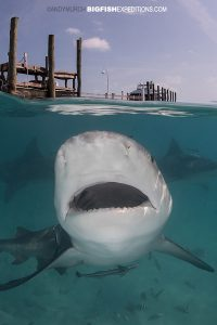 Bull shark diving in the bahamas