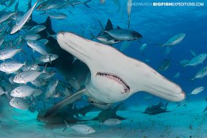 Great hammerhead shark dive