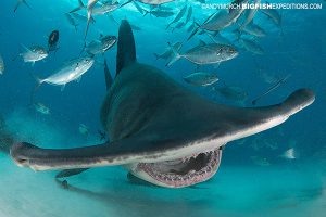 Diving with great hammerhead sharks in the Bahamas