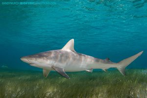 Blacknose shark dive in the Bahamas