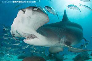 Great hammerhead shark dives