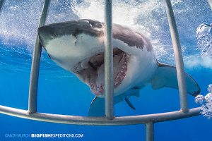 Great white shark in shark cage