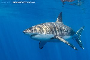 Mexican great white shark cage diving