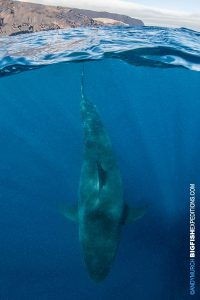 Over under great white shark picture