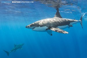 Diving with lots of great white sharks