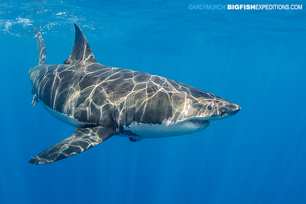 Cage diving with great white sharks at Guadalupe Island