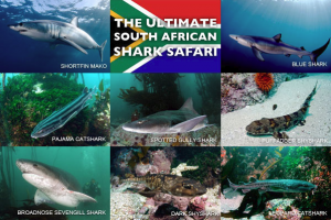 South African Sharks