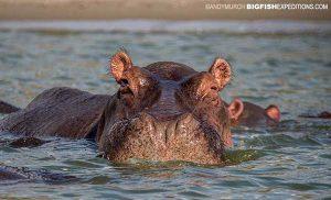 Hippos in Queen Elizabeth Park River Safari