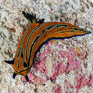 nudibranch in the midriff islands