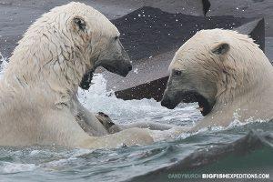Polar bears fighting in water
