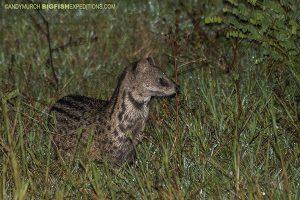 Civet on Sri Lanka Leopard Safari