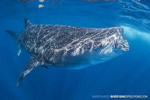 Whale Shark snorkeling