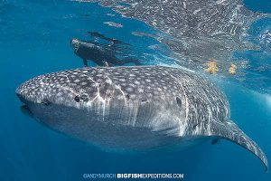 Swimmer with a whale shark