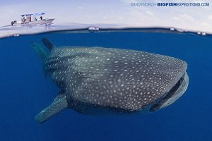 Perfect conditions for swimming with whale sharks.