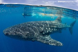 A swimmer with a huge whale shark