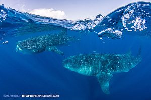 Two whale sharks swimming just under the surface
