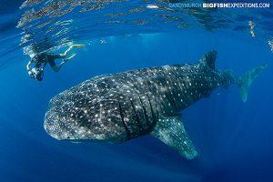 A videographer swims alongside a slow moving whale shark.