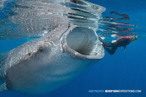 A swimmer accompanying a whale shark