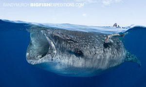 Whale shark split frame photography