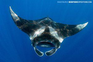 A Caribbean manta ray swims by at Isla Mujeres