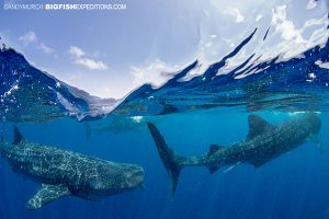 Three whale sharks swimming close to surface.