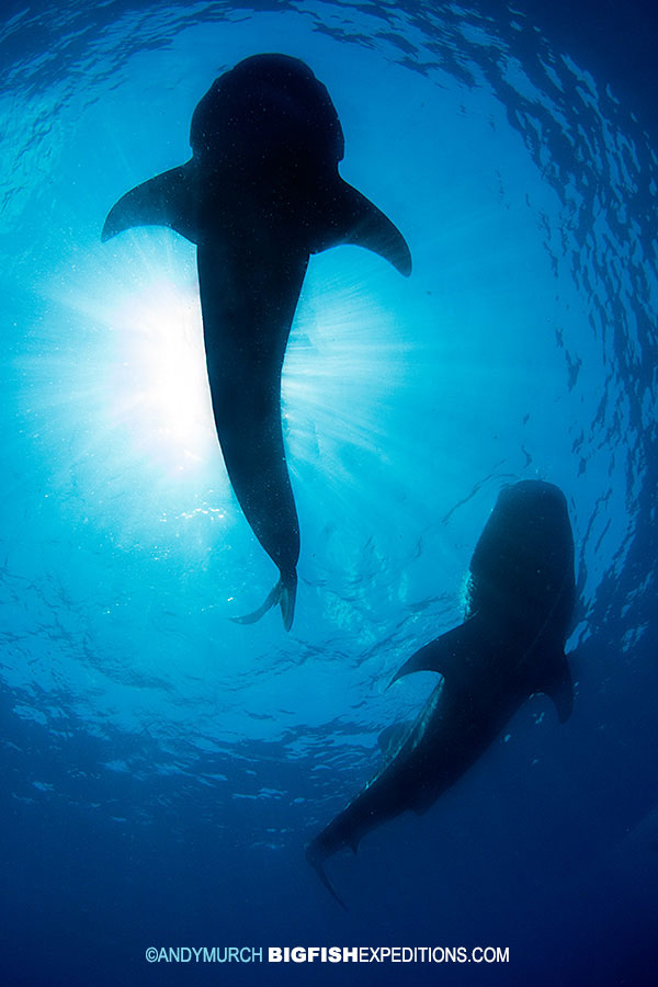 Two whale sharks swimming overhead