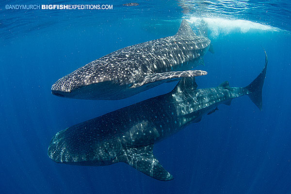 Two whale sharks swimming next to each other.