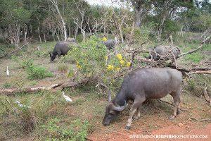 Wild Water Buffaloes Sri Lanka Safari