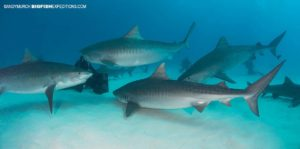 Diving with tiger sharks at Tiger Beach