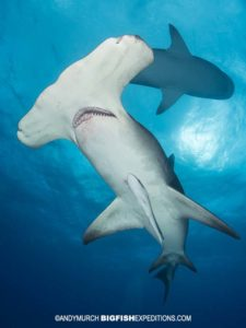 Great Hammerhead shark diving