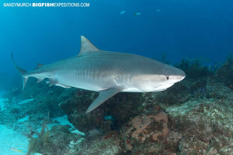 Diving with Tiger Sharks.