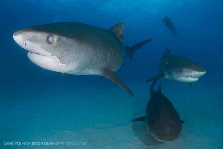 Diving with tiger sharks at Tiger Beach.