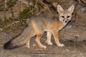Kit fox photographed at night while spotlighting.