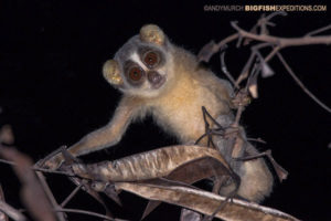 A grey slender loris caught in the beam of a flashlight while spotlighting.