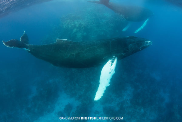 Snorkeling with humpback whales at the Silver Bank