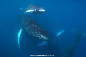 Humpback whales very close to our boat